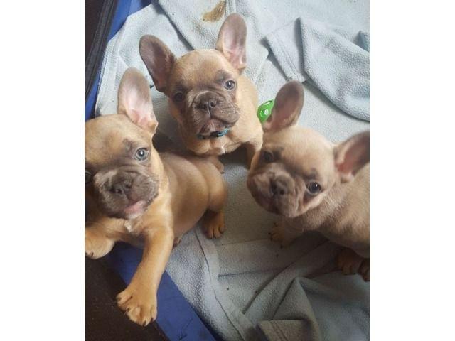 Blue French Bulldog Puppies Bulldog Puppies Blue French Bulldog