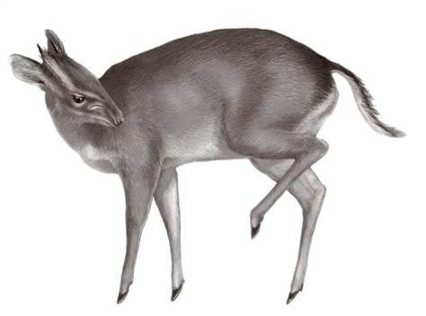 Gilled antelope- Cambodian cryptid: a deer like animal with gills on its muzzle. What was actually sighted was a Saola. A small deer with big maxillary glands or sinuses in front of its eyes.