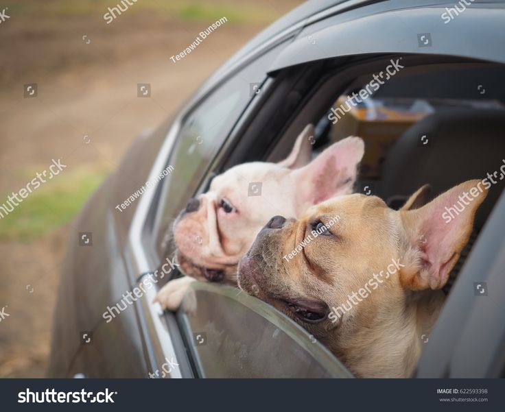French bulldog stuck in car and holding at car's window