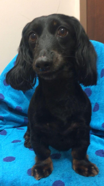 Adopt General On Dachshund Rescue Dachshund Dog Pet Search