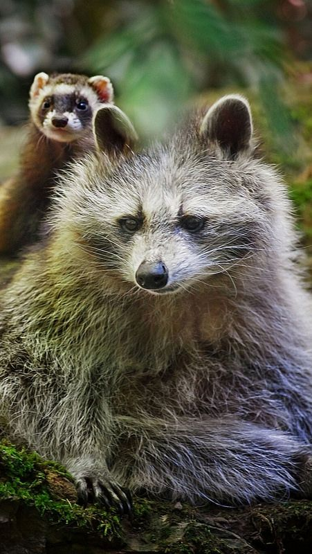 animals raccoons weasels friends - photo #1