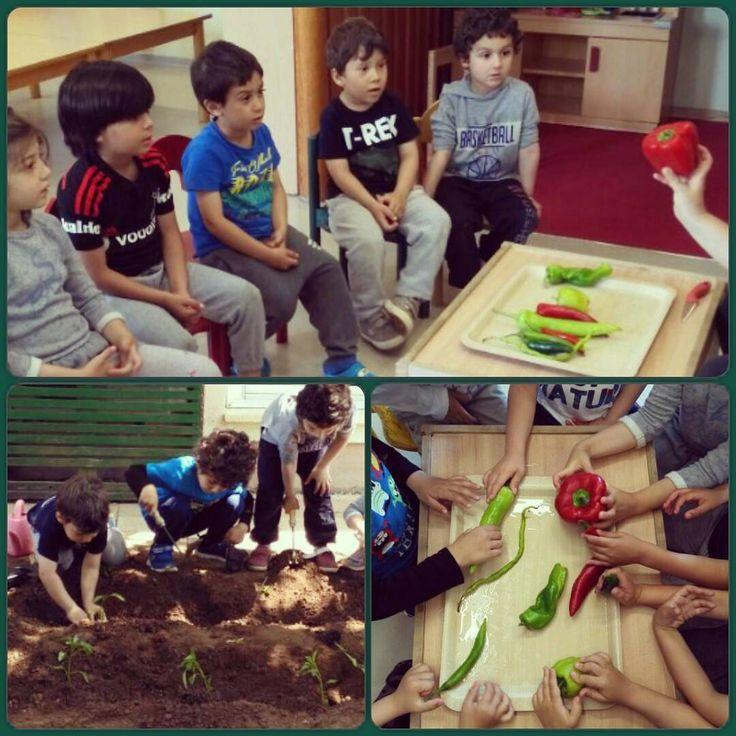 """""""Hepsi biber mi!!! �� Peki bizim fidelerimizden hangisi çıkacak öğretmenim?"""" �� ���� #biberçeşitleri #inceleme #biberfidesidikimi #alevanaokulu #alev #bahçe #orff #almanca #deutsch #doğa #istanbul #eğitim #okulöncesi #çocuk #etkinlik #çocukvedoğa #mutluçocuk #özgürçocuk #kindergarten #kids #kidsactivity #kita #kiga #ömerli #çekmeköy  Tag:#ozelalevokullari http://turkrazzi.com/ipost/1523824416155520626/?code=BUltjuhBE5y"""