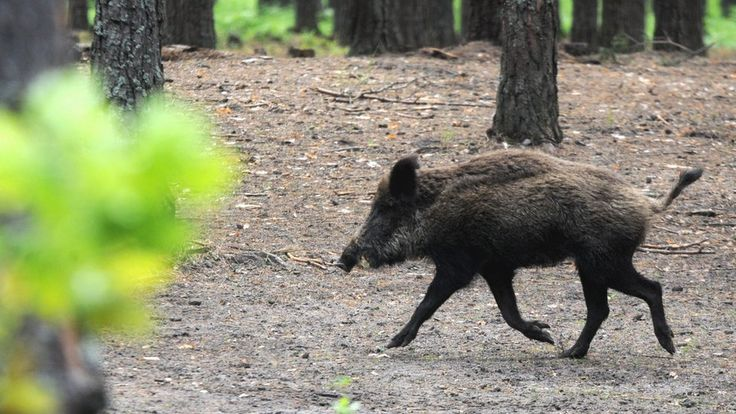 "Wild boar meat 'may have poisoned' New Zealand family https://tmbw.news/wild-boar-meat-may-have-poisoned-new-zealand-family  A New Zealand family are seriously ill in hospital, with a wild boar they hunted and ate being investigated by doctors as one possible cause.Friends of the family wrote in a Facebook post that Shibu Kochummen, his wife Subi Babu and mother Alekutty Daniel collapsed after eating the meat.Health officials said there is no evidence of any ""broader contaminated game"" or…"