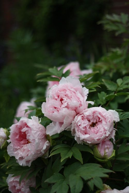 Absolutely beautiful peonies, Old Westbury Gardens,French-Kissed.com