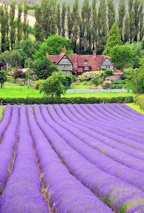 Oh my goodness, have you ever seen anything so beautiful????   Lavender Field, Kent, England photo via marguerite