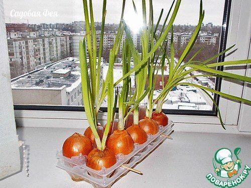 ПЛАСТИКОВЫЙ КОНТЕЙНЕР ДЛЯ ВЫГОНКИ ЛУКА. ПРОСТО! УДОБНО!  Как вырастить лук на окне зимой  Выгонять лук на зелень – довольно забавное занятие. И не такое уж дурацкое – в магазине российский зелёный лук в 10 раз дороже африканских бананов.