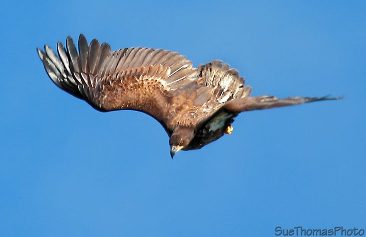 Juvenile Bald Eagle in flight near Whitehorse, Yukon