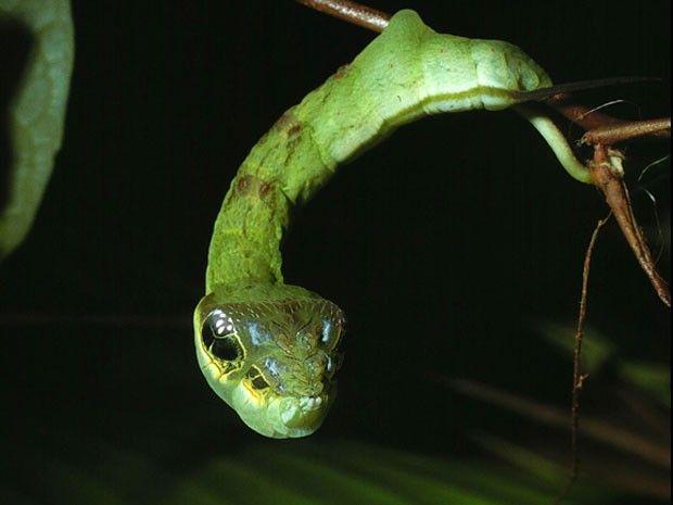 Apesar de parecer uma cobra, seu corpo curto causa estranhamento. O professor Daniel Janzen, da Universidade da Pensilvânia, capturou essas ...