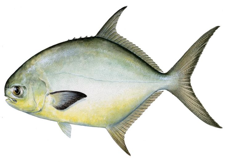 pompano+fish | Adult pompano appear to be selective grazers, feeding mostly on the ...