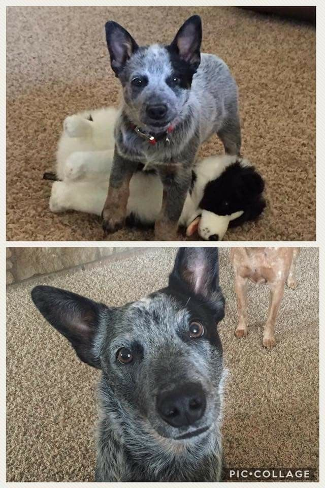 Best 25 Blue Heelers Ideas On Pinterest Blue Healer Dog