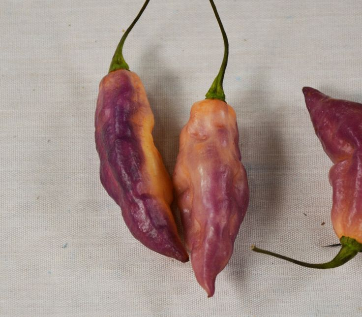 Bhut Jolokia Pepper, Purple Seeds