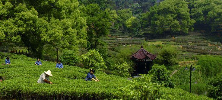 Hangzhou Longjing Tea Plantation China