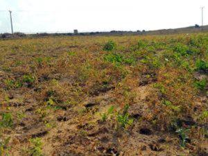 B'Tselem The Ecologist Thu, 18 Feb 2016 17:38 UTC  © Khaled al-'Azayzeh, B'Tselem Field damaged by Israel's spraying of crops within Gaza, 31 December 2015. Gaza farmers ha… http://winstonclose.me/2016/02/27/war-crime-israel-uses-aerial-herbicide-spraying-to-destroy-gaza-crops-written-by-btselem/