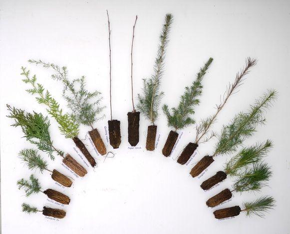 9 Best Tree Seedlings Images On Pinterest Tree Seedlings  - Christmas Tree Seedlings
