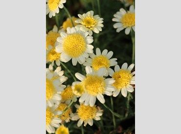 Argyranthemum Honeycomb