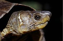 Siebenrockiella leytensis is a species of freshwater turtle endemic to the Philippines. It is classified as critically endangered.[1] It is known as the Philippine forest turtle, the Philippine pond turtle, the Palawan turtle, or the Leyte pond turtle. Despite the latter common name, it does not occur in the island of Leyte but is instead native to the Palawan island group.[4][5]