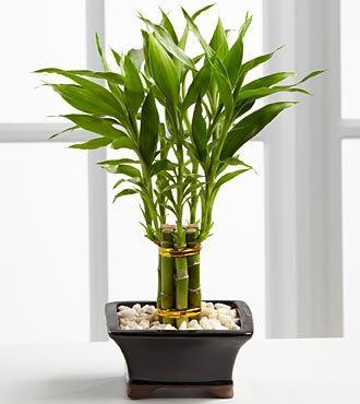 17 best ideas about lucky bamboo plants on pinterest zen bathroom decor bamboo bathroom and - Lucky bambou acheter ...
