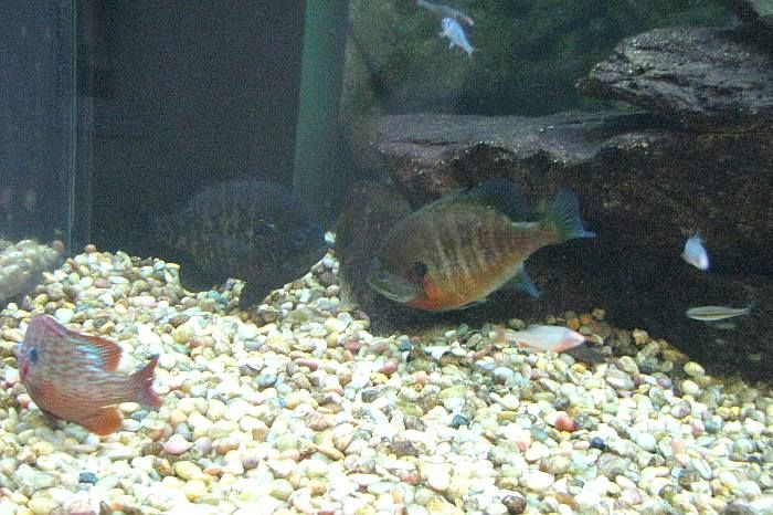 16 best brook run multi use trail images on pinterest for Bluegill fish tank