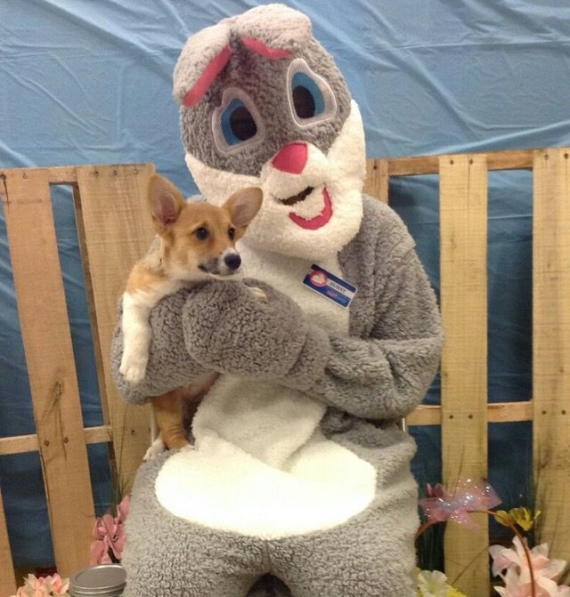 Concerned Corgi Pup With The Easter Bunny