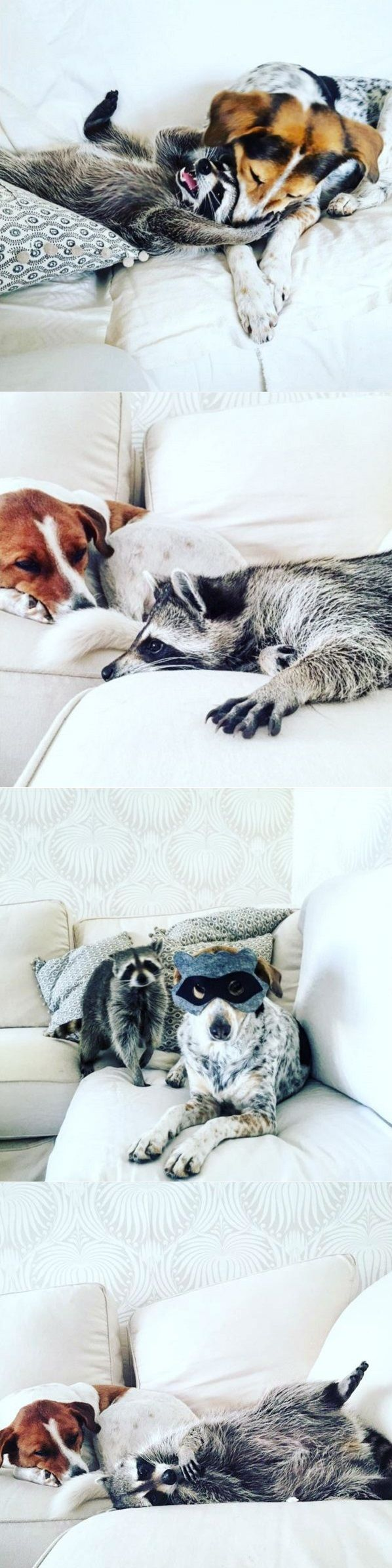Blimey, just have a look at this little lady! Her name is Pumpkin and yes, she is a raccoon!