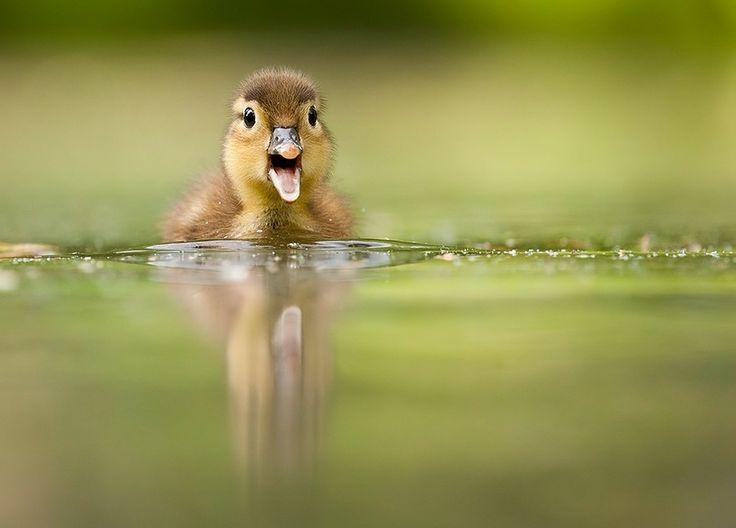 Mockery duck by Robert Adamec on 500px