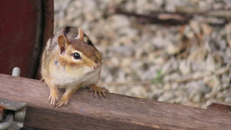 Chipmunk of Wheelbarrow