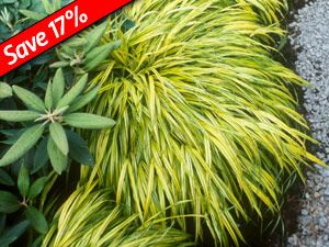 56 best grass images on pinterest fountain grass ornamental hakonechloa aureola 8 months of colorful foliage on shade loving ornamental grass japanese forest grass thrives with heucheras hostas hardy ferns workwithnaturefo
