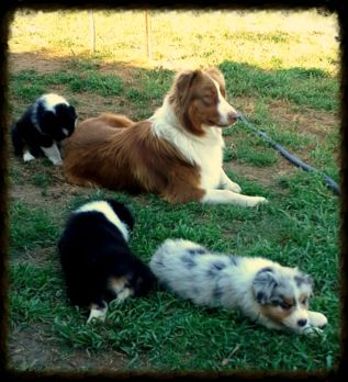 Here are more pictures of our last litter.We ship our puppies all over .Taking depoists now.We will have blue merles and black tris Australian Shepherd breeders