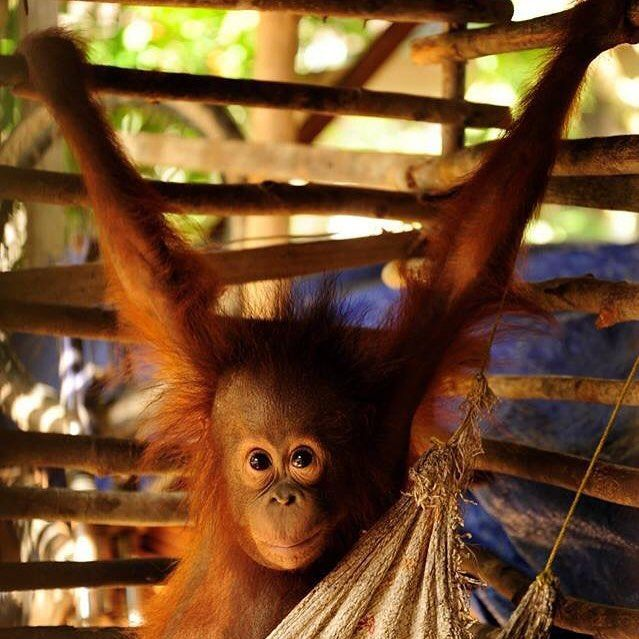 Orangutan Protection On Instagram She Is Duyu She Is Kept Illegally By A Local In Central Kalimantan It Is Not Always Central Kalimantan Orangutan Primates