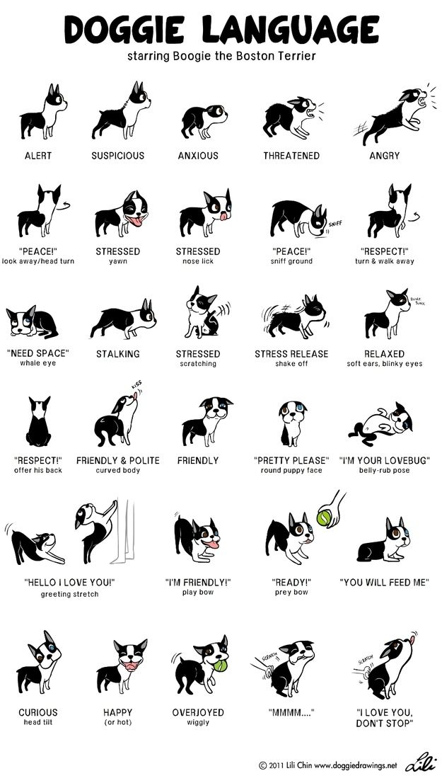 Doggie language - Starring Boogie the Boston Terrier - very similar to Boxer language, this is just missing the kidney bean or the cashew where they are too excited to unbend and they end up walking sideways :)