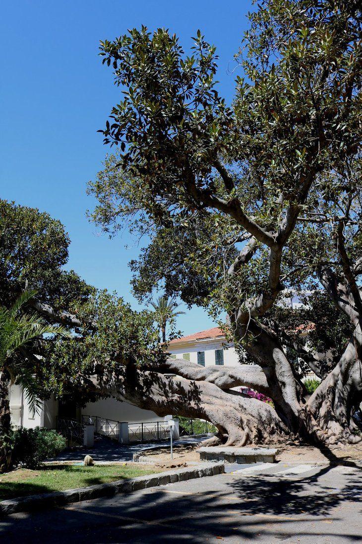 Bordighera (IM) - Il Ficus macrophylla subito dietro a Palazzo Garnier (Municipio)
