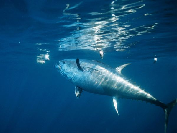Bluefin Tuna Populations are being Threatened by Overfishing