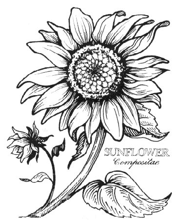 sunflower line drawings - Google Search