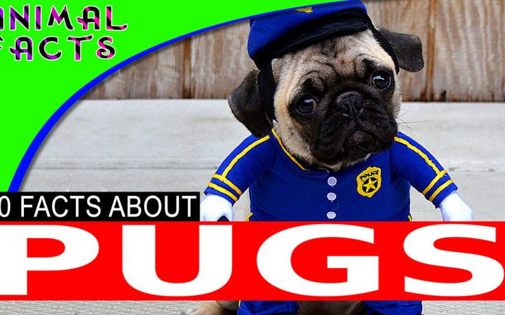 Most Popular Cute Small Dog Breeds Pugs Dogs 101 Cute Small Dogs