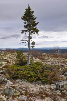 """Old Tijikko"", a Norway Spruce, is believed to be 9,550 yrs. old. It is considered to be earth's oldest living individual clonal tree. It lives in Fulu Mountain in Dalarna, Sweden."