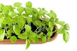 Insect Repellent: Fresh Basil, Garden Ideas, Indoor Herbs, Outdoor, Plants, Gardening, Insect Repellent