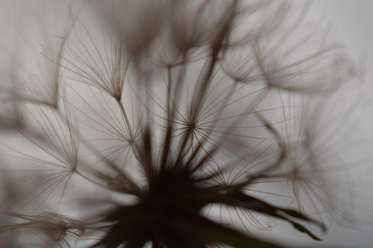 Dandelion picture.