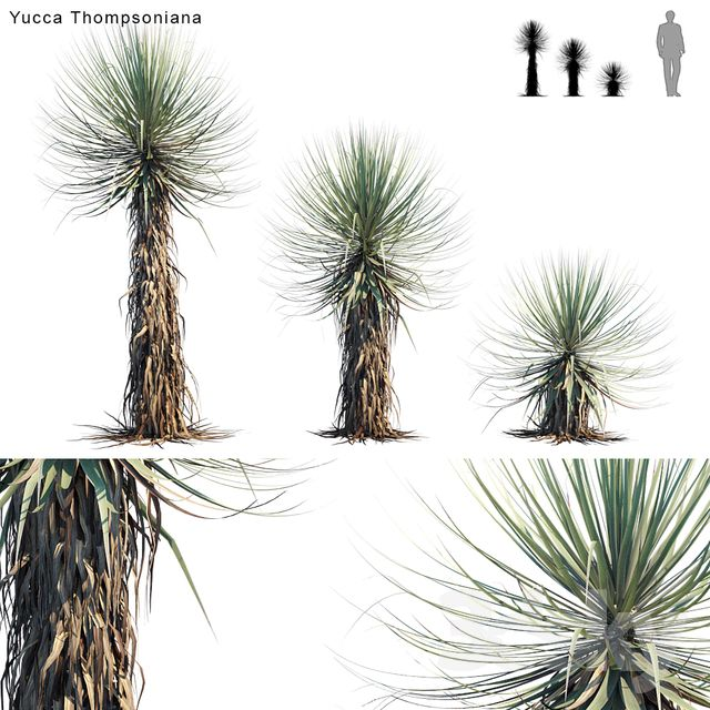 3d models: Outdoor Yucca Thompsoniana | Beaked yucca