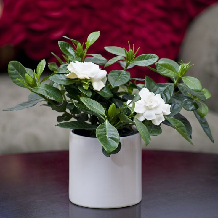 for you he says handing me a bottle of wine and a small potted gardenia bush it is sprouting a single white flower and i pause to smell it