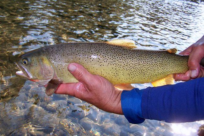 35 Best Snake River Cutthroat Images On Pinterest
