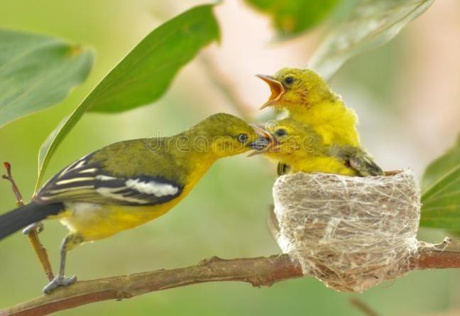 Gambar Burung Sirtu Betina Burung Murai