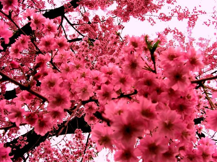 really want a cherry blossom tree in the garden...