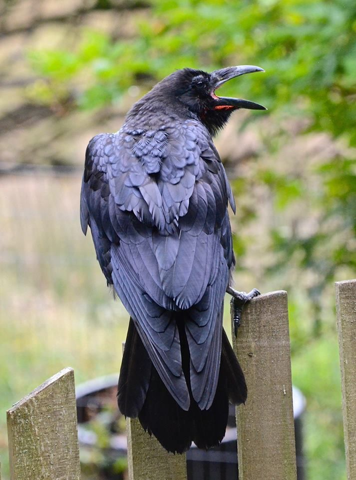 Your daily raven...a peek at what's to come. I could hear the babies clearly this morning in their nest in the woods behind me! (photo from 2014)  via Wendy Davis Photography FB