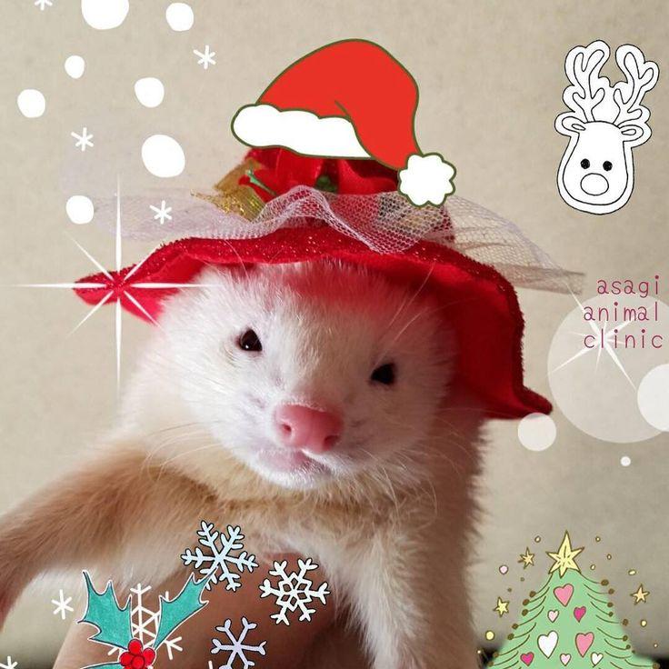 パムちゃんのクリスマス パムちゃんから嬉しいお便りでした 帽子が似合っていますね . #浜松市 #浜松市東区 #動物病院 #エキゾチックアニマル #フェレット#サンタ帽子 #メリークリスマス #獣医 #獣医師  #animaldoctor #animalclinic #animalhospital #ferret #vet #veterinarian #asagiah