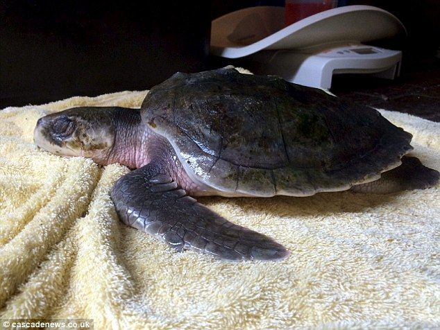 Rarest turtles in the world wash up on British beaches 5,000 miles from Gulf of Mexico after cold weather leaves them too weak to swim against ocean currents | Daily Mail Online