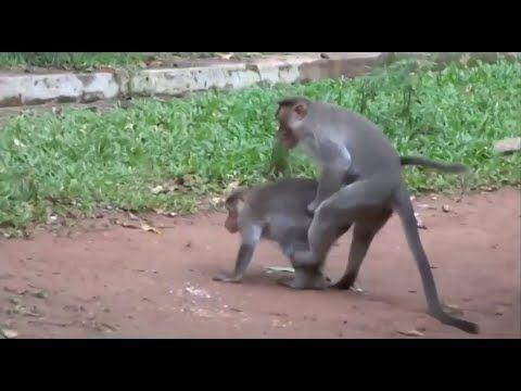 تزاوج القرود والغوريلا وشمبانزي تزاوج الحيوانات نكاح
