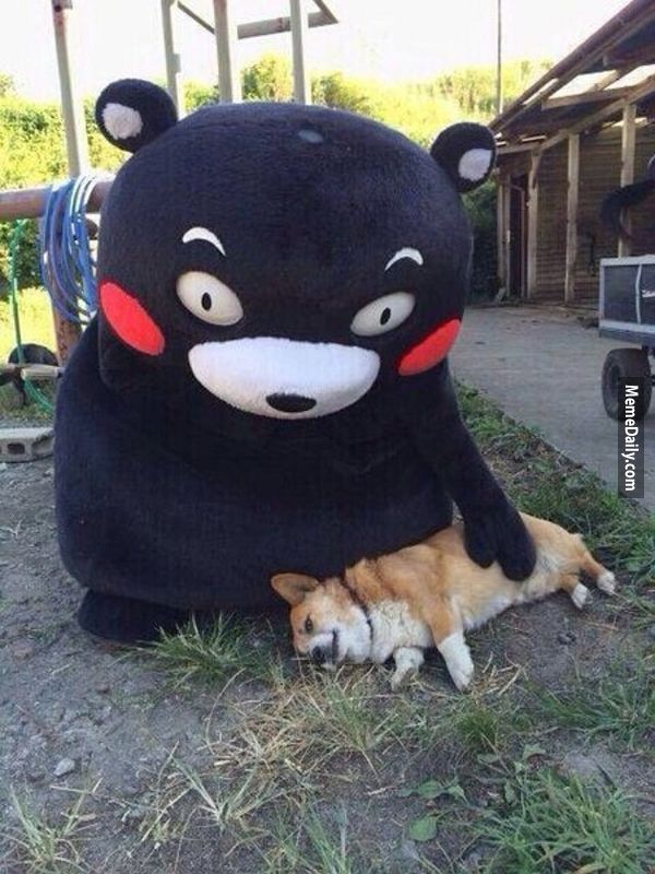 ಠ_ಠ 當柯基遇上熊本熊,狗狗竟然立即「死了」!