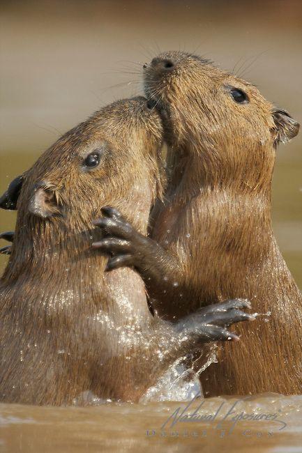 Capybara, two young capybara play fighting in Cuiaba river, Pantanal Brazil.