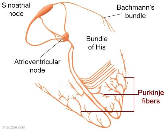 C D Aceb Dc Eb D F Fiber Need To on Cardiac Conduction System Diagram