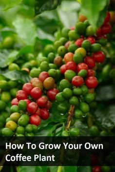 How To Grow Your Own Coffee Plant - interesting read, but may be too much work with too little return.
